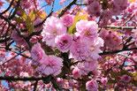 Japanische Kirschblüte in Schöneberg / Berlin
