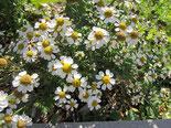 Mutterkraut: Mit weißer, kamillienähnlicher Blüte, Foto Kirnstötter