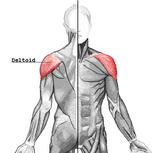 anatomie spieren schouders
