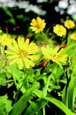 春のような陽気に誘われて開花したニガナの花=1月4日午前、石垣市大浜の崎原公園