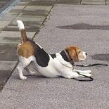 Beagle in der Stadt