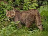 """""""Die Wildkatze in der Wildnis"""" © Michael Gäbler Lizenziert unter CC BY 3.0 über Wikimedia Commons"""