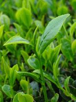 茶葉エキス,殺菌,消炎作用,養麗潤,原料