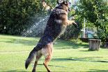 Un chien Berger allemand noir et feu saute en l'air pour attraper l'eau d'un tuyau d'arrosage par coach canin  educateur canin charente