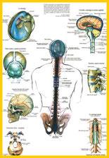 Columna vertebral Osteopatía Herbolario El Alquimista Arrecife Lanzarote
