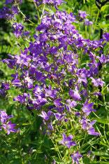 Campanula lactiflora blau