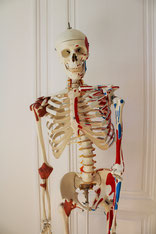 My assistant Sam and other models support me in explaining anatomical relationships.