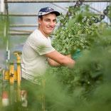 Taille et tuteurage des plants de tomates  les saveurs de Gâtine