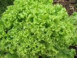 Lollo Bionda: Grüner Pflücksalat mit gekrausten Blättern. Foto Kirnstötter