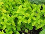 Majoran mit gelben Blättern, Foto Kirnstötter