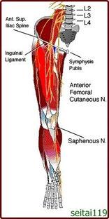 股関節の神経支配図
