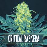 critical raskera variedad de marihuana muy potente