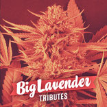 big lavender semillas marihuana big seeds tributes