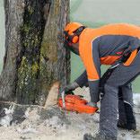Baumfällarbeiten Baum fällen sägen