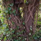 ivy strangling tree