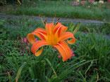 鮮やかな橙色で赤目入り、花弁は外側にカールし、整った花形(稔性なし)