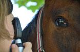 Augenheilkunde Pferd Tierarzt München