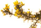 Bach-Blüten Nr. 13 Gorse Stechginster