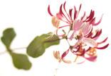 Bach Blüten Nr. 16 Honeysuckle Geissblatt