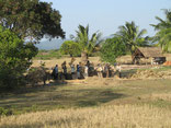 Rice Harvest, Battambang, Cambodia