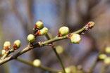 硬い蕾の緑鍔梅