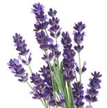 lavande vraie, aux notes florales odorantes bien connues pour la détente amenant équilibre et harmonie.