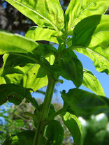Ocimum basilicum by Forest&Kim Starr LCC2.