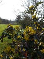 Fleurs jaunes des Mahonias
