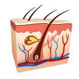 Schweiß Pore Haarwurzel Haarfollikel