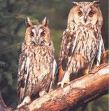 Die Waldohreule unterscheidet sich vom Waldkauz durch die Federohren.