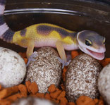 Leopardgecko Inkubation