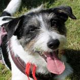 Jack-Russell-Terrier Rüde Bonnie hat über Pechpfoten e.V. ein neues Zuhause gefunden