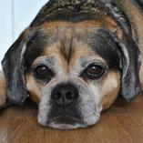 Puggle-Hündin Lisa hat über den Wuppertaler Tierschutzverein Pechpfoten e.V. ein neues Zuhause gefunden