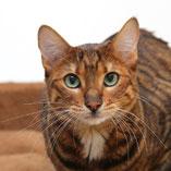 Auch Rassekatzen suchen über den Tierschutzverein Pechpfoten in Wuppertal ihr Glück, hier Toyger-Katze Pinky