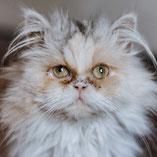 Perserkatze Tricolor, verschmust, lieb, sucht über den Tierschutzverein Pechpfoten e.V. ein Zuhause