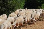 elevage d'agneaux