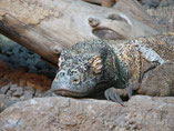 Komodo Dragon Diving Liveaboard Indonesia Tidak Apa'Pa