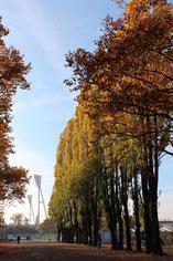Herbstblätter an der Baumallee im Friedrich-Jahn-Sportpark Prenzlauer Berg. Foto: Helga Karl