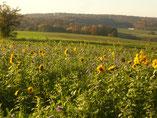 Sonnenblumenfeld im Nov.2016