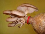Pilz-Experimentierset, Pilz aus der Flasche, Lungenseitling, Pilz-Schulexperiment