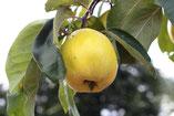 Apfelquitte auf einer Streuobstwiese
