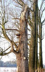 Vom Pilz befallen (Fotos 2009, gefällt 2010), Bild: Edeltraud Spee