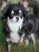 Chihuahuas vom Gingkohof