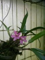 Dendrobium leavifolium