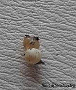 Eine Albino beim Schlupf. Sie ist gelb durchsichtig. Auf dem Bild ist ihr Darm zu sehen. https://www.tinas-achatschnecken.de/