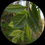 Grünholz entsteht aus Eschenzweig
