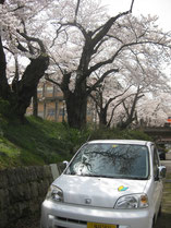 かもめちゃんと学校の桜