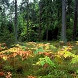 Farne im Wald