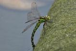 Dragonfly | Austria