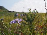 一の峰のマツムシ草